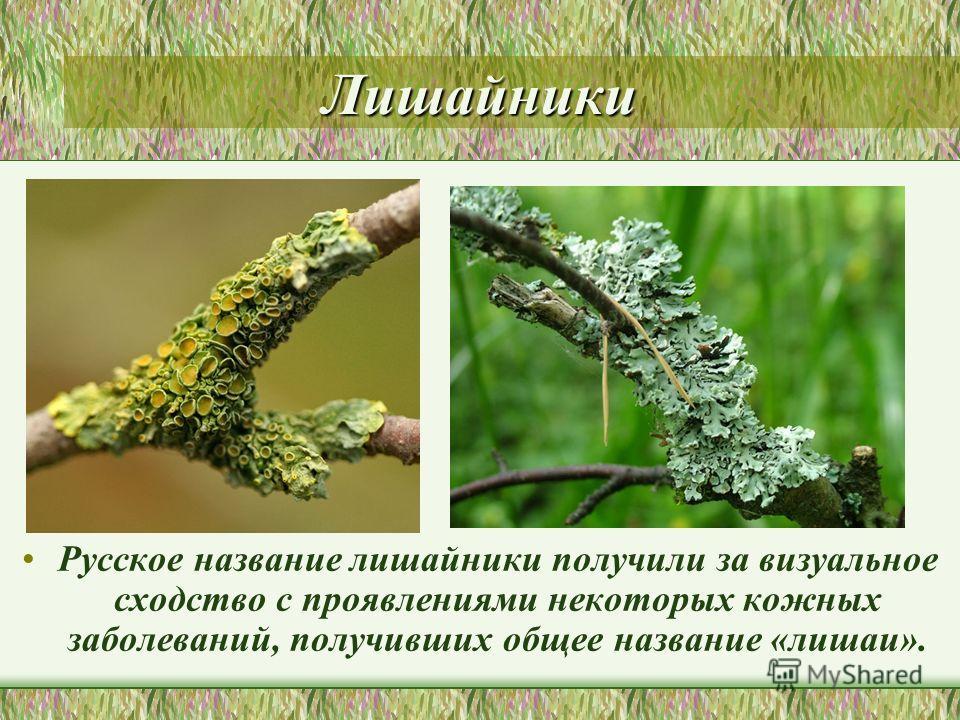 Лишайники Русское название лишайники получили за визуальное сходство с проявлениями некоторых кожных заболеваний, получивших общее название «лишаи».