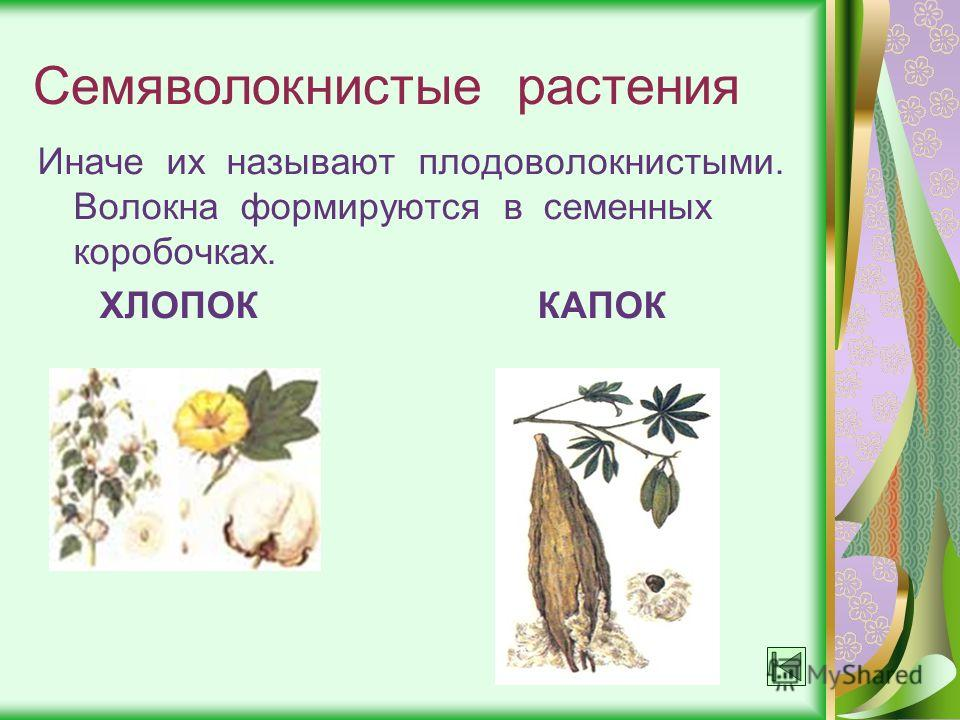 Семяволокнистые растения Иначе их называют плодоволокнистыми. Волокна формируются в семенных коробочках. ХЛОПОК КАПОК
