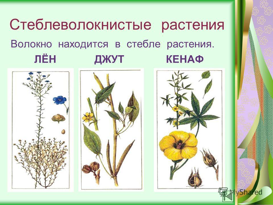 Стеблеволокнистые растения Волокно находится в стебле растения. ЛЁН ДЖУТ КЕНАФ