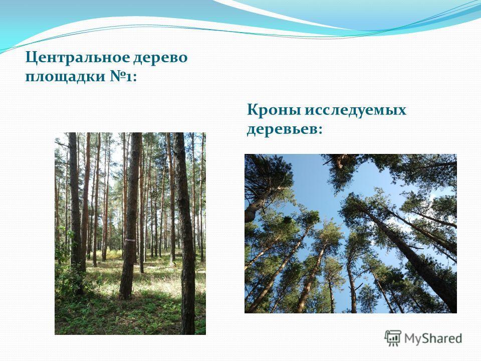 Центральное дерево площадки 1: Кроны исследуемых деревьев: