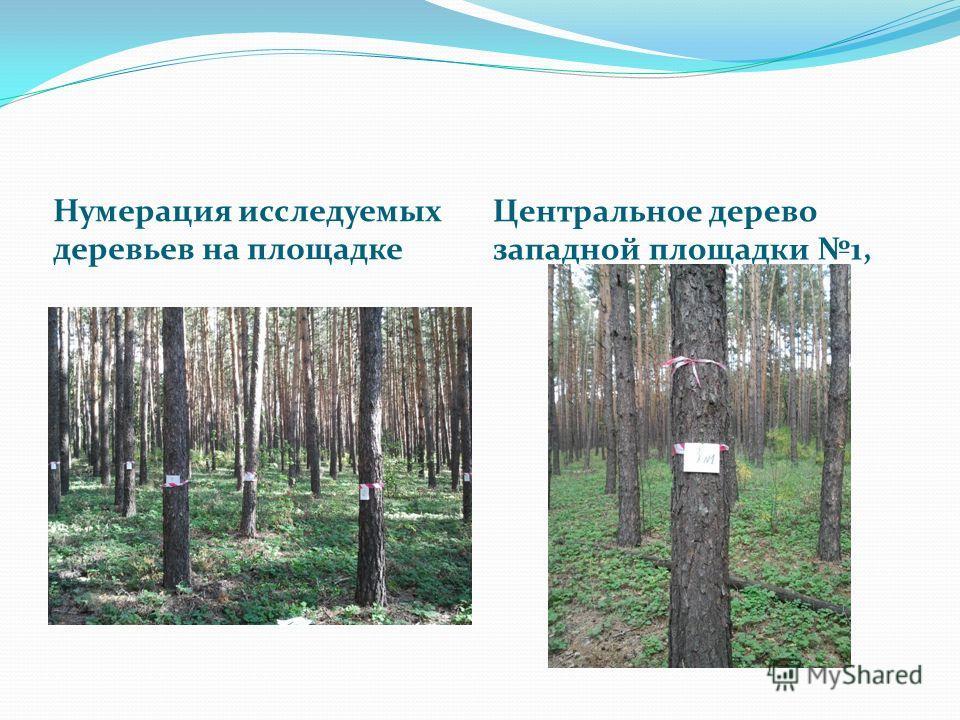 Нумерация исследуемых деревьев на площадке Центральное дерево западной площадки 1,