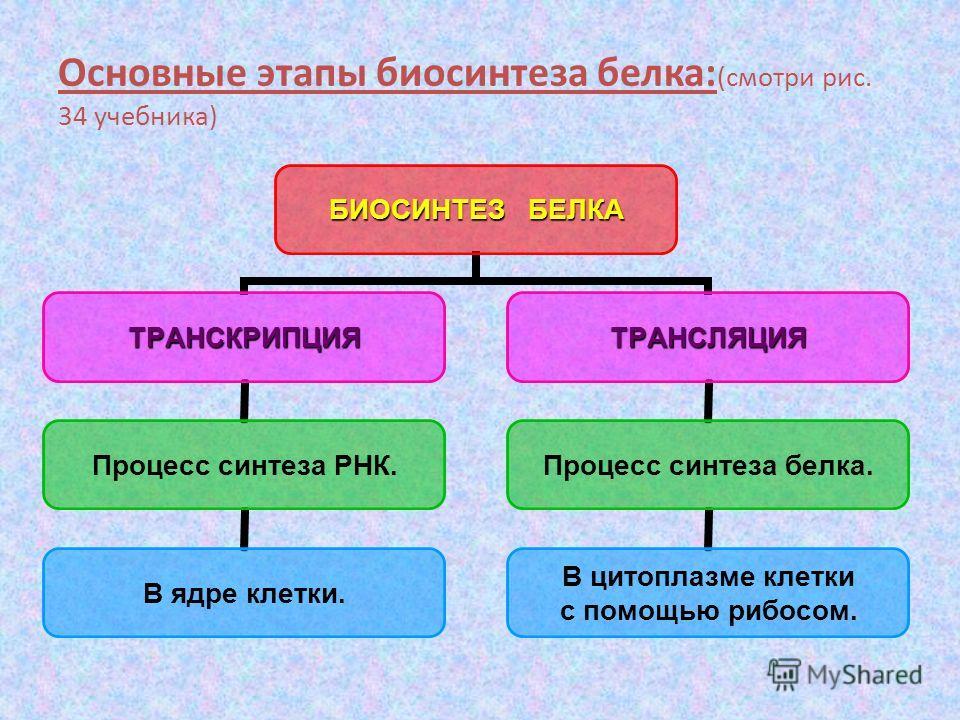 Основные этапы биосинтеза белка: (смотри рис. 34 учебника) БИОСИНТЕЗ БЕЛКА ТРАНСКРИПЦИЯ Процесс синтеза РНК. В ядре клетки. ТРАНСЛЯЦИЯ Процесс синтеза белка. В цитоплазме клетки с помощью рибосом.