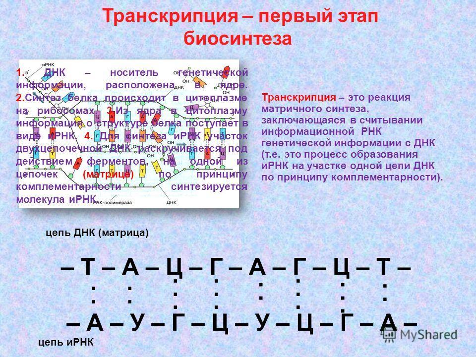 Транскрипция – первый этап биосинтеза – Т – А – Ц – Г – А – Г – Ц – Т – – А – У – Г – Ц – У – Ц – Г – А – цепь ДНК (матрица).... цепь иРНК... Транскрипция – это реакция матричного синтеза, заключающаяся в считывании информационной РНК генетической ин