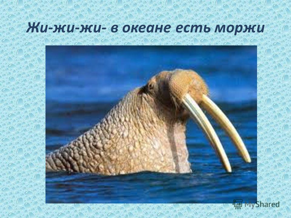 Жи-жи-жи- в океане есть моржи