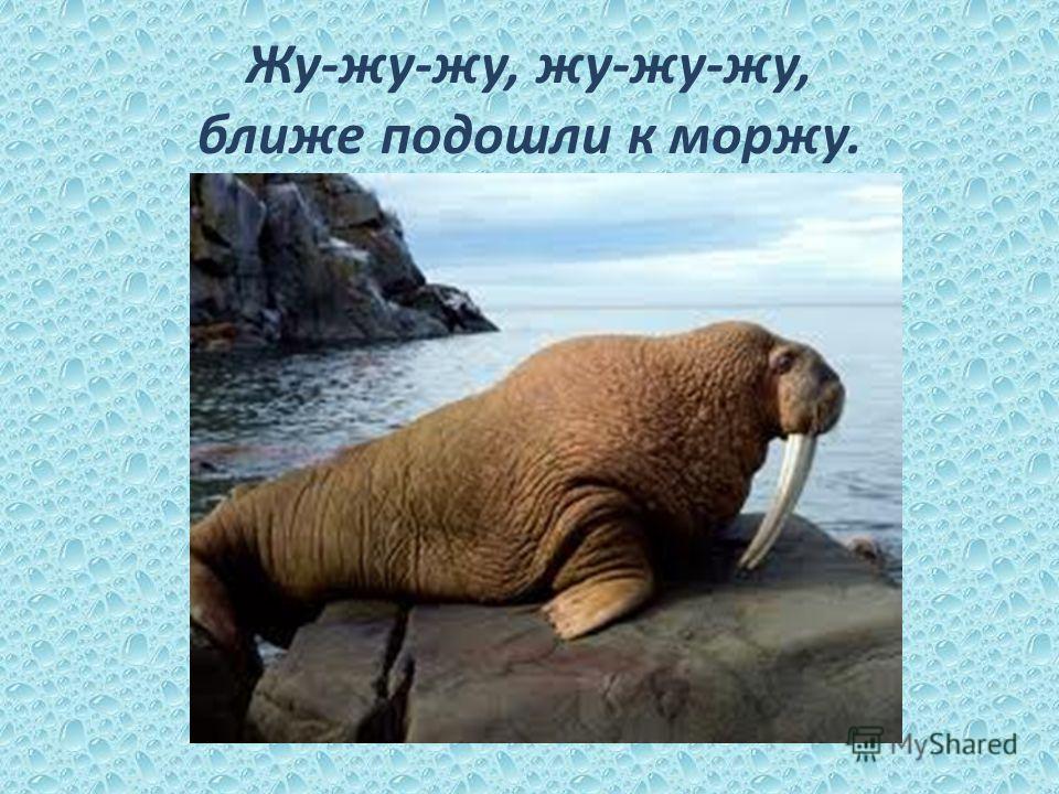 Жу-жу-жу, жу-жу-жу, ближе подошли к моржу.