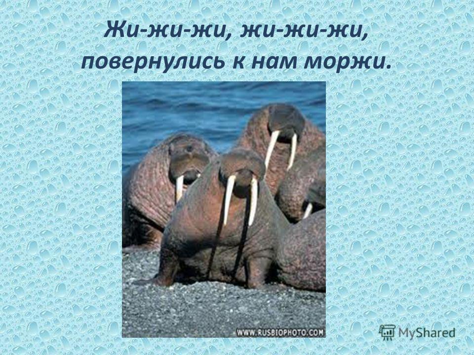 Жи-жи-жи, жи-жи-жи, повернулись к нам моржи.