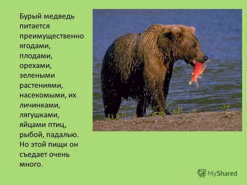 Для берлоги медведь избирает самые надежные, глухие уголки, где-нибудь на островке леса посреди обширного мохового болота. Вопреки распространенному мнению, медведи в настоящую спячку не погружаются. Их состояние правильнее называть зимним сном, ибо