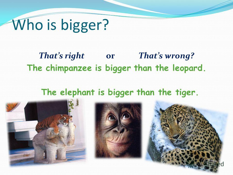 Who is bigger? Thats right or Thats wrong? The chimpanzee is bigger than the leopard. The elephant is bigger than the tiger.