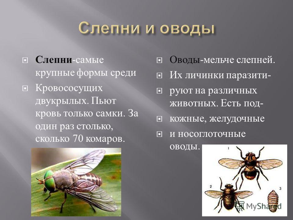 Слепни - самые крупные формы среди Кровососущих двукрылых. Пьют кровь только самки. За один раз столько, сколько 70 комаров. Оводы - мельче слепней. Их личинки паразити - руют на различных животных. Есть под - кожные, желудочные и носоглоточные оводы