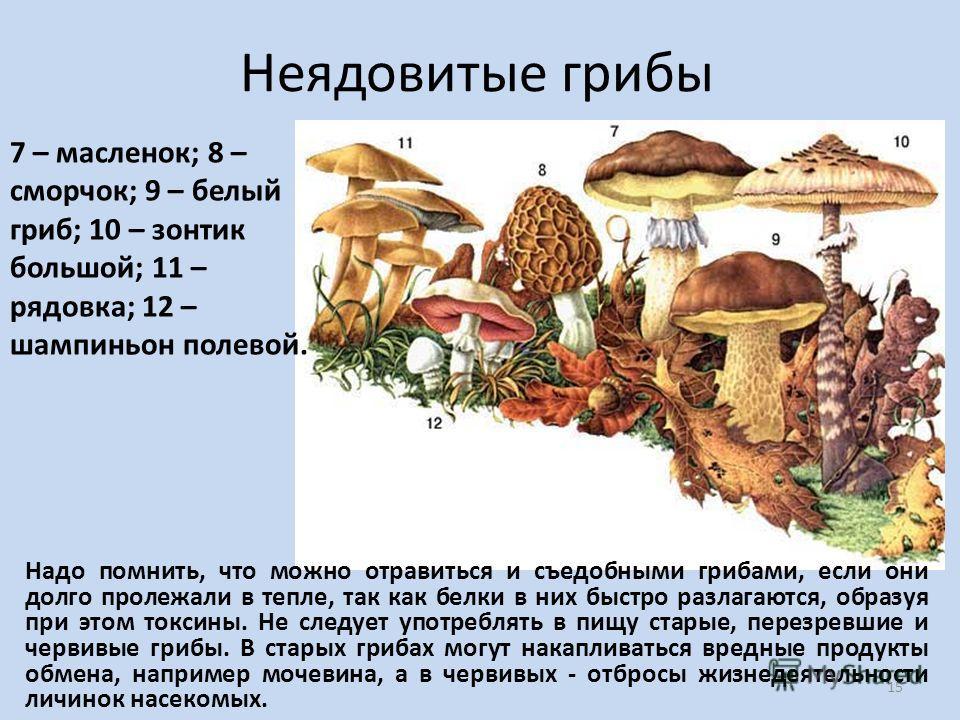 Неядовитые грибы 7 – масленок; 8 – сморчок; 9 – белый гриб; 10 – зонтик большой; 11 – рядовка; 12 – шампиньон полевой. Надо помнить, что можно отравиться и съедобными грибами, если они долго пролежали в тепле, так как белки в них быстро разлагаются,