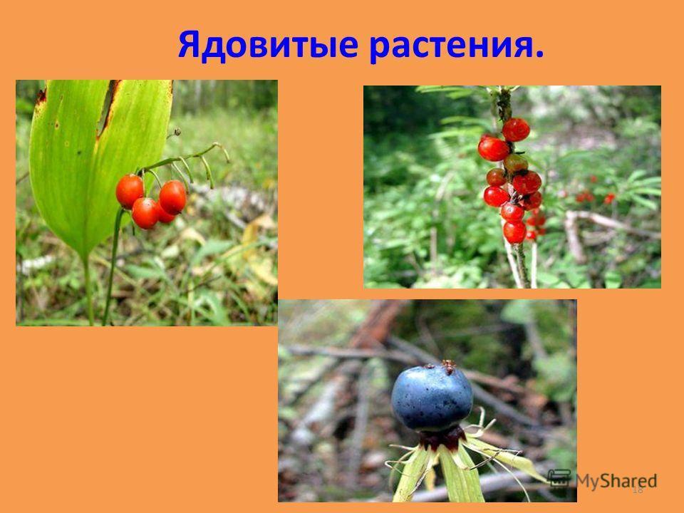 Ядовитые растения. 18