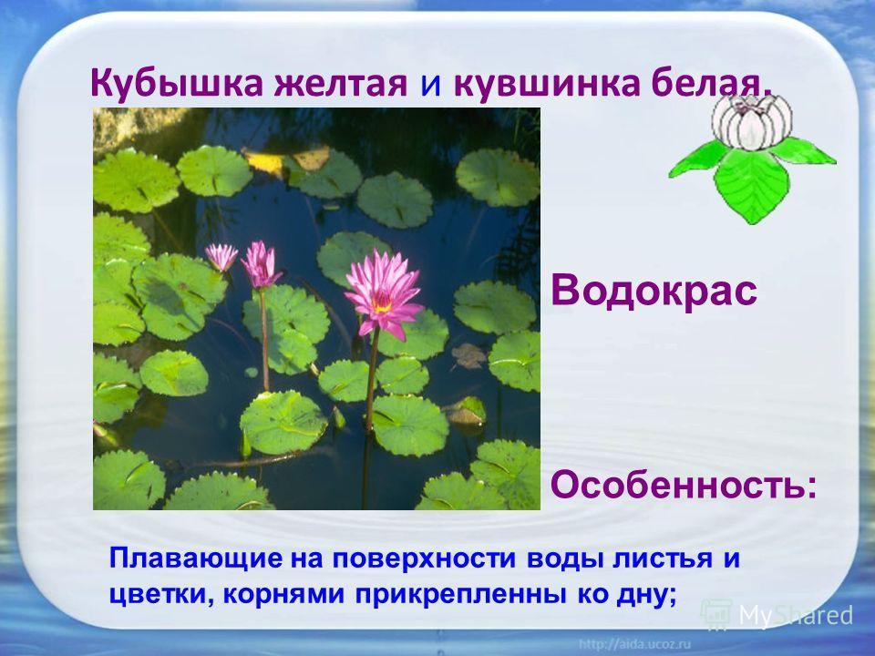 Кубышка желтая и кувшинка белая, Водокрас Особенность: Плавающие на поверхности воды листья и цветки, корнями прикрепленны ко дну;