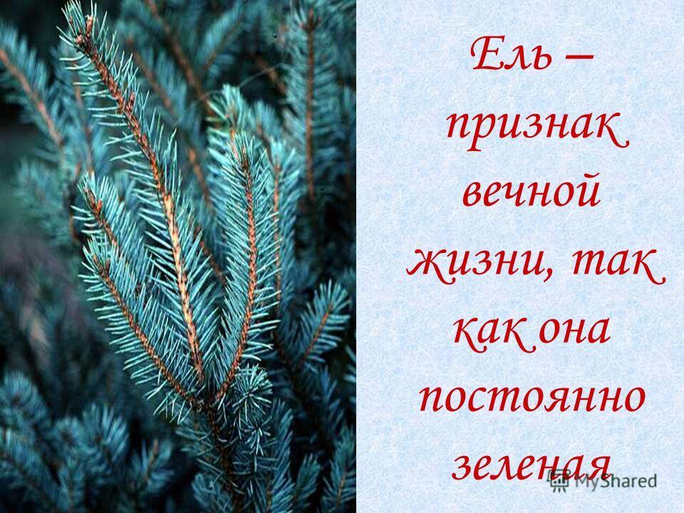 Ель – признак вечной жизни, так как она постоянно зеленая