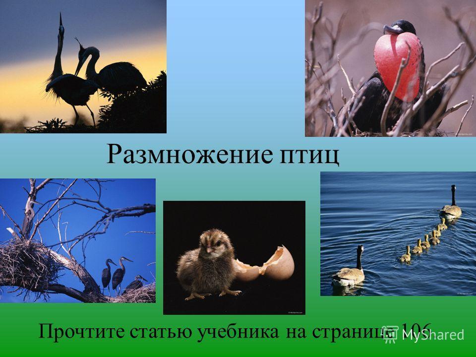 Размножение птиц Прочтите статью учебника на странице 106.