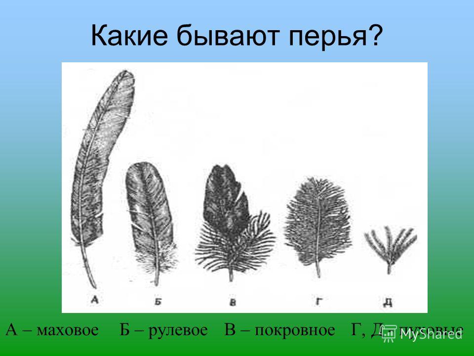Какие бывают перья? А – маховое Б – рулевое В – покровное Г, Д - пуховые