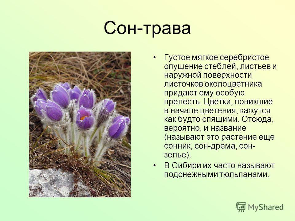 Сон-трава Густое мягкое серебристое опушение стеблей, листьев и наружной поверхности листочков околоцветника придают ему особую прелесть. Цветки, поникшие в начале цветения, кажутся как будто спящими. Отсюда, вероятно, и название (называют это растен