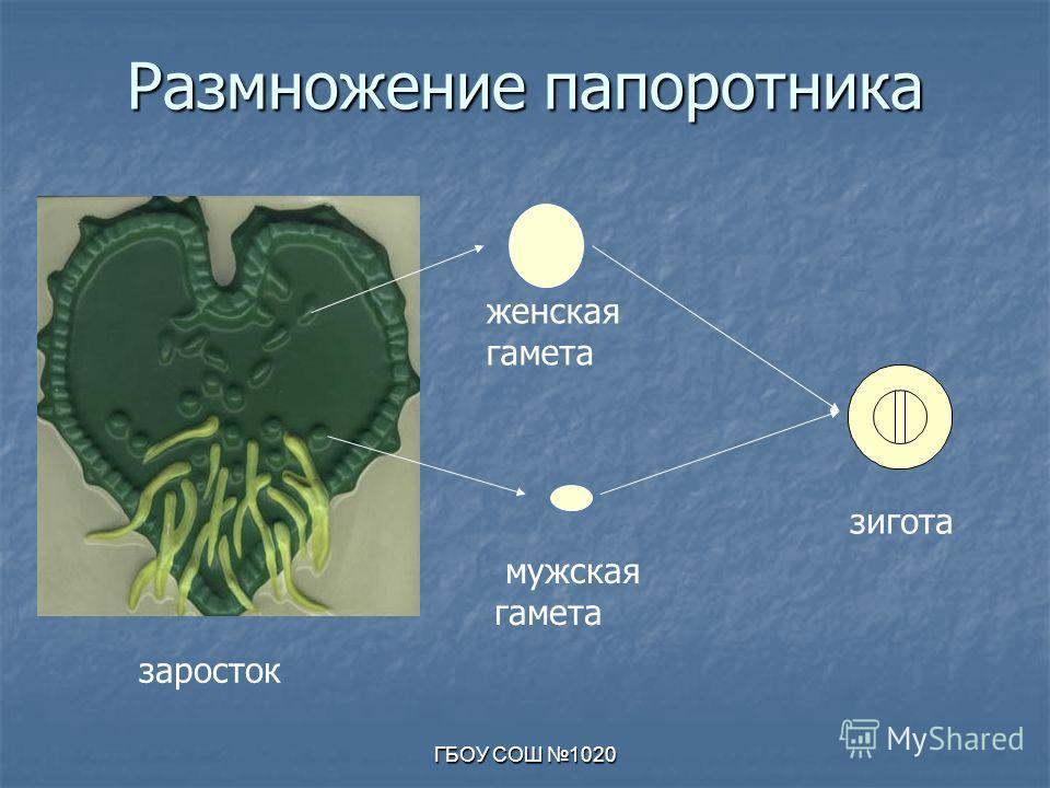 ГБОУ СОШ 1020 Размножение папоротника заросток мужская гамета женская гамета зигота