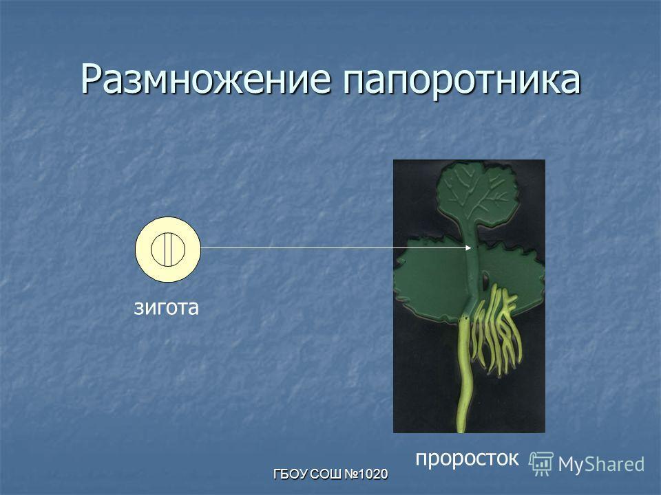 ГБОУ СОШ 1020 Размножение папоротника зигота проросток
