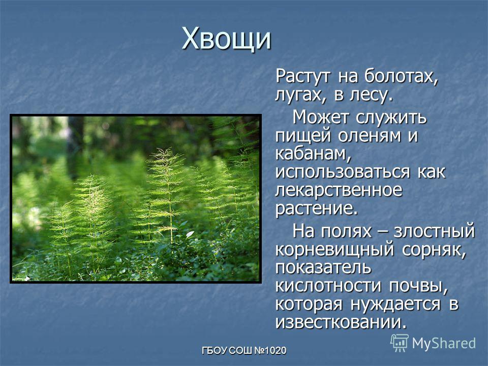 ГБОУ СОШ 1020 Хвощи Растут на болотах, лугах, в лесу. Растут на болотах, лугах, в лесу. Может служить пищей оленям и кабанам, использоваться как лекарственное растение. Может служить пищей оленям и кабанам, использоваться как лекарственное растение.