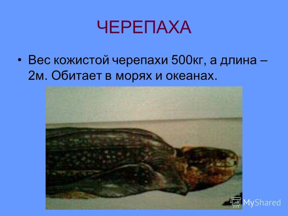 ЧЕРЕПАХА Вес кожистой черепахи 500кг, а длина – 2м. Обитает в морях и океанах.
