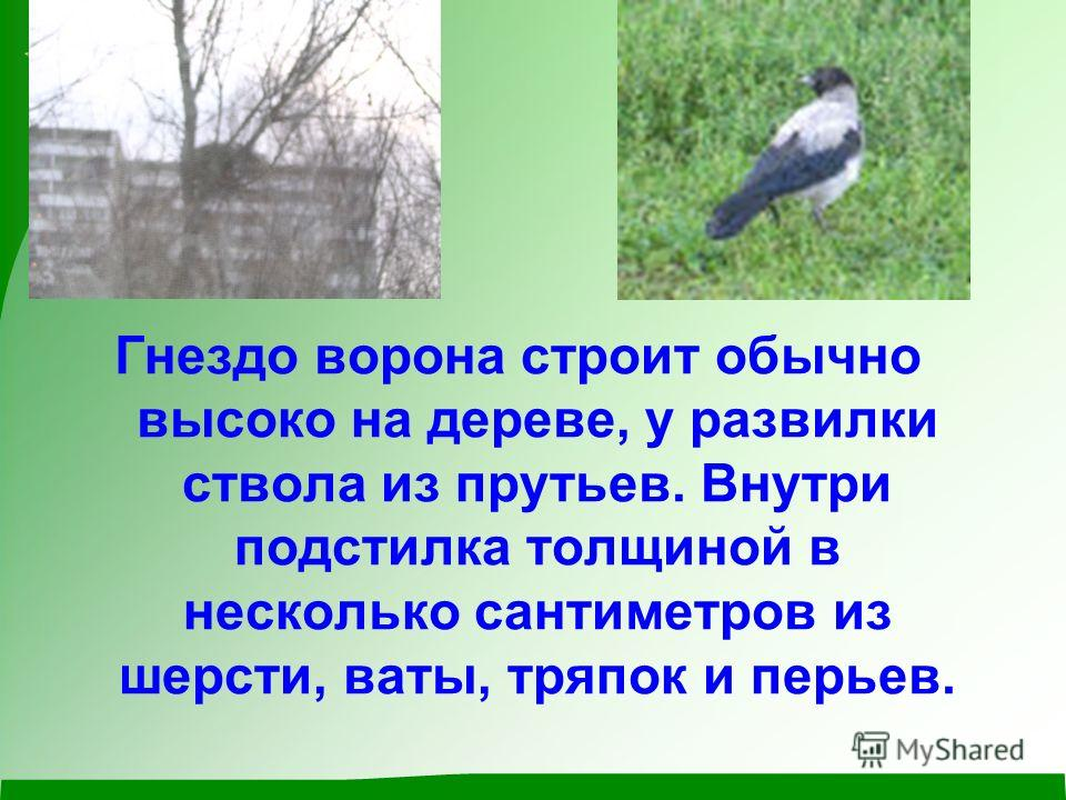 Гнездо ворона строит обычно высоко на дереве, у развилки ствола из прутьев. Внутри подстилка толщиной в несколько сантиметров из шерсти, ваты, тряпок и перьев.