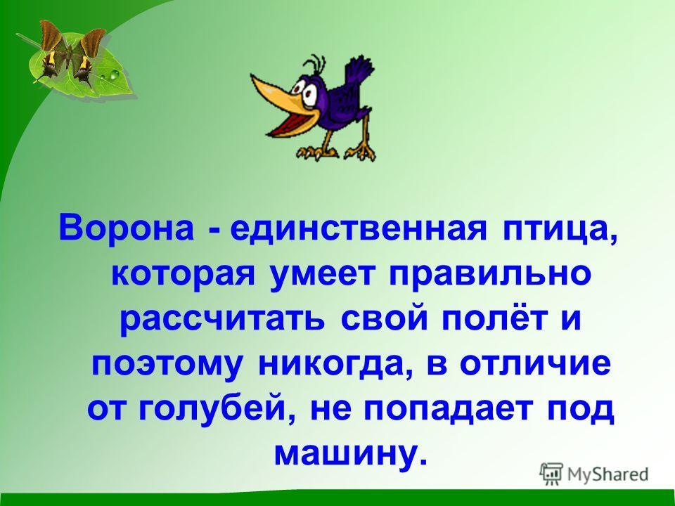 Ворона - единственная птица, которая умеет правильно рассчитать свой полёт и поэтому никогда, в отличие от голубей, не попадает под машину.