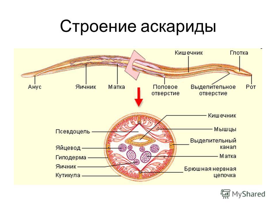 Строение аскариды
