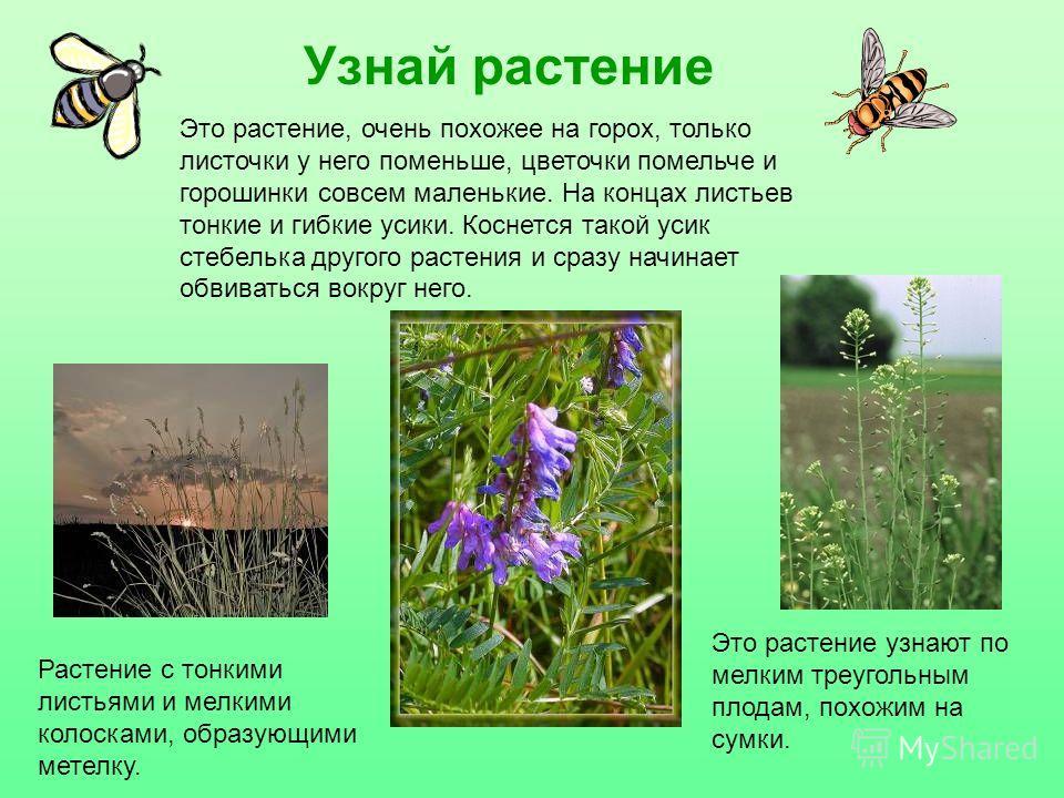 Узнай растение Растение с тонкими листьями и мелкими колосками, образующими метелку. Это растение узнают по мелким треугольным плодам, похожим на сумки. Это растение, очень похожее на горох, только листочки у него поменьше, цветочки помельче и гороши