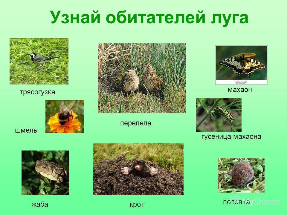 Узнай обитателей луга гусеница махаона жаба шмель трясогузка перепела крот полевка махаон