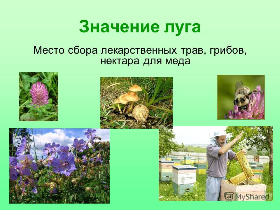 Значение луга Место сбора лекарственных трав, грибов, нектара для меда