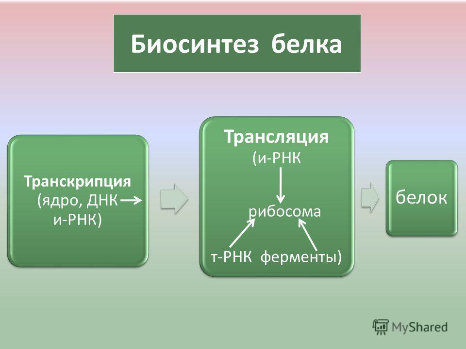 Биосинтез белка Транскрипция (ядро, ДНК и-РНК) Трансляция (и-РНК рибосома т-РНК ферменты) белок