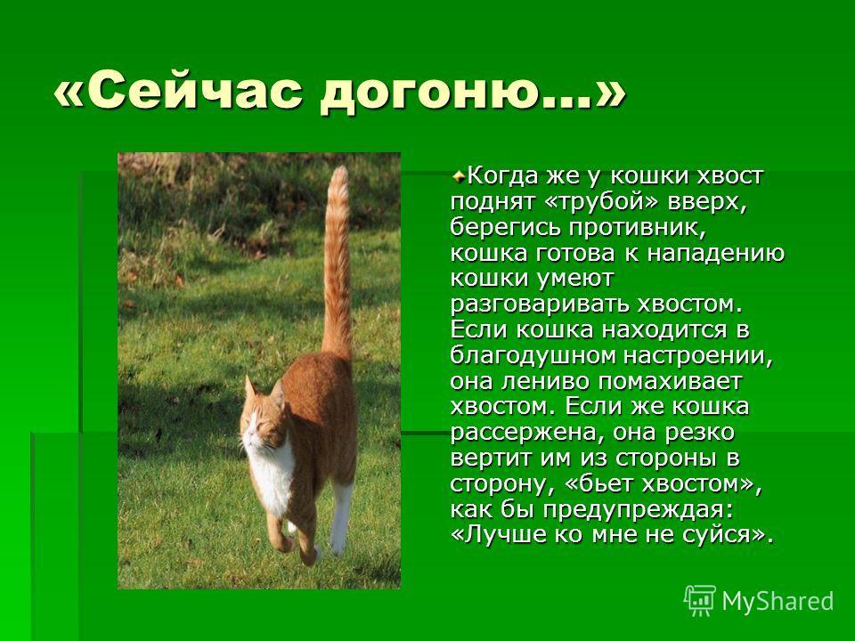 «Сейчас догоню…» Когда же у кошки хвост поднят «трубой» вверх, берегись противник, кошка готова к нападению кошки умеют разговаривать хвостом. Если кошка находится в благодушном настроении, она лениво помахивает хвостом. Если же кошка рассержена, она