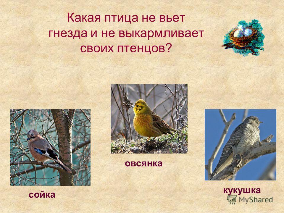 Какая птица не вьет гнезда и не выкармливает своих птенцов? овсянка кукушка сойка
