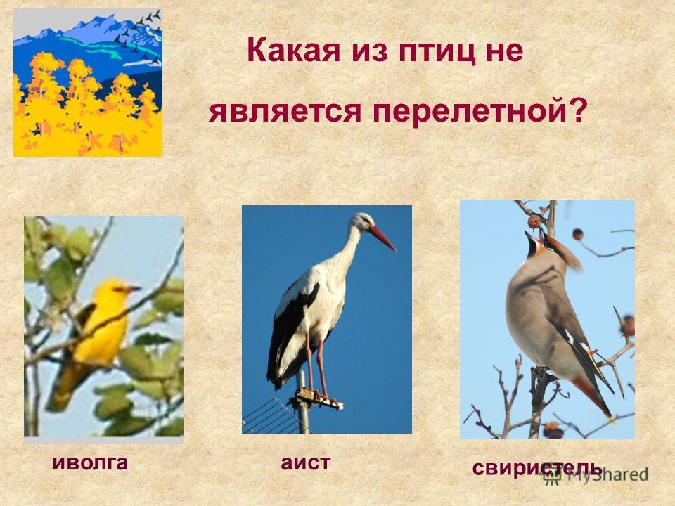 Какая из птиц не является перелетной? свиристель иволгааист