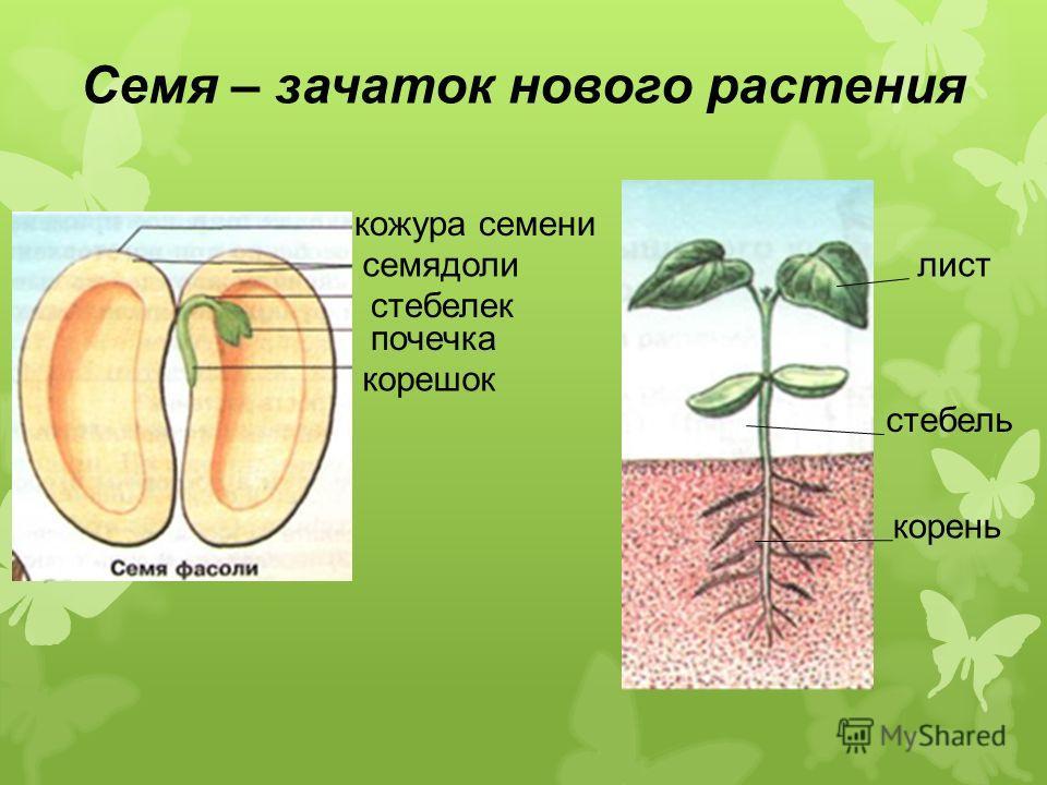 лист стебель корень кожура семени семядоли стебелек почечка корешок Семя – зачаток нового растения