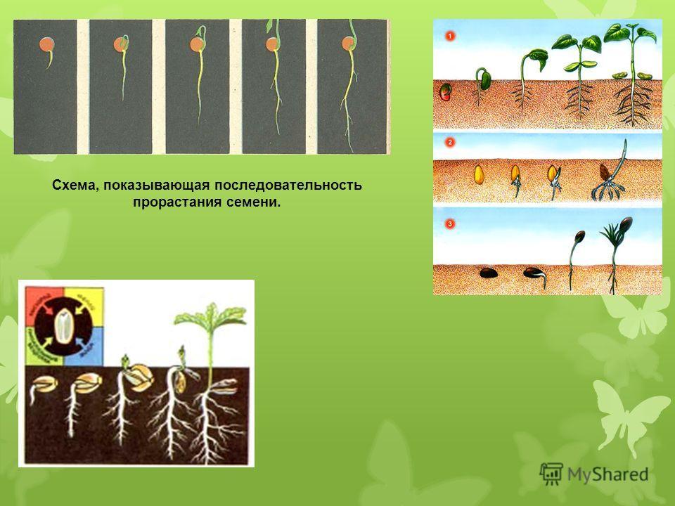 Схема, показывающая последовательность прорастания семени.