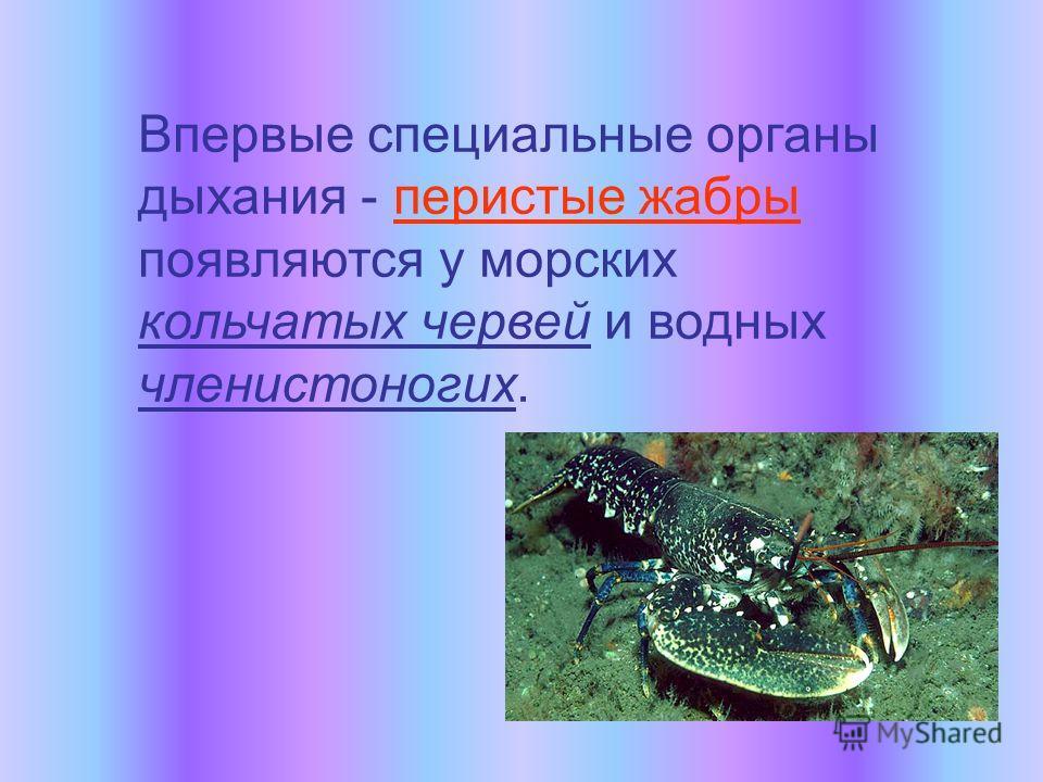 Впервые специальные органы дыхания - перистые жабры появляются у морских кольчатых червей и водных членистоногих.