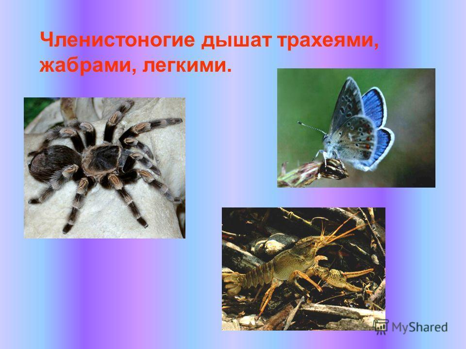 Членистоногие дышат трахеями, жабрами, легкими.