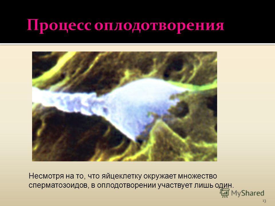 13 Несмотря на то, что яйцеклетку окружает множество сперматозоидов, в оплодотворении участвует лишь один.