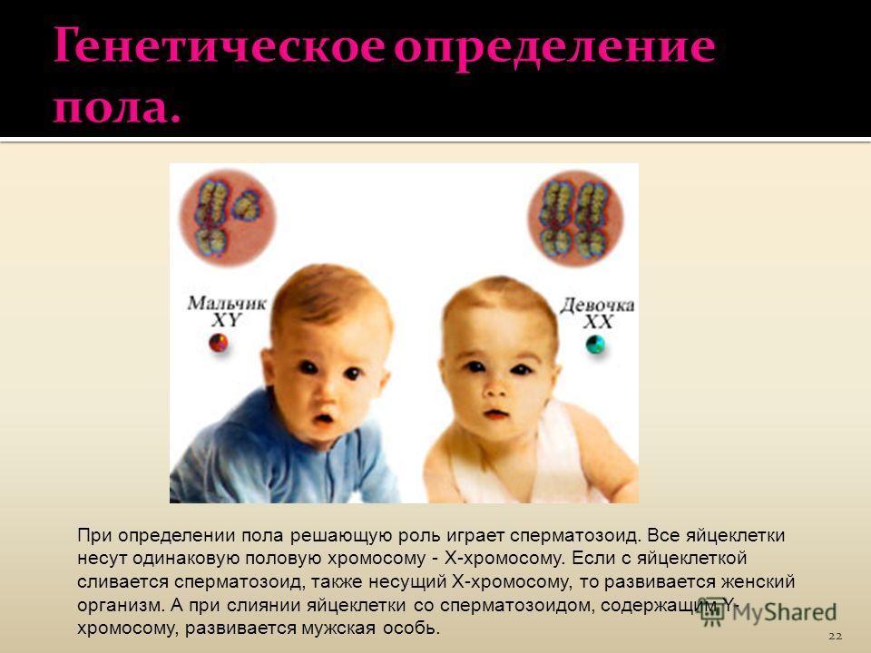 22 При определении пола решающую роль играет сперматозоид. Все яйцеклетки несут одинаковую половую хромосому - Х-хромосому. Если с яйцеклеткой сливается сперматозоид, также несущий Х-хромосому, то развивается женский организм. А при слиянии яйцеклетк