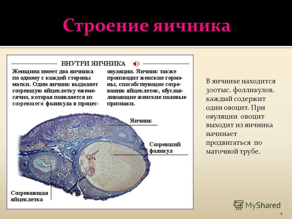 4 В яичнике находится 300тыс. фолликулов, каждый содержит один овоцит. При овуляции овоцит выходит из яичника начинает продвигаться по маточной трубе.