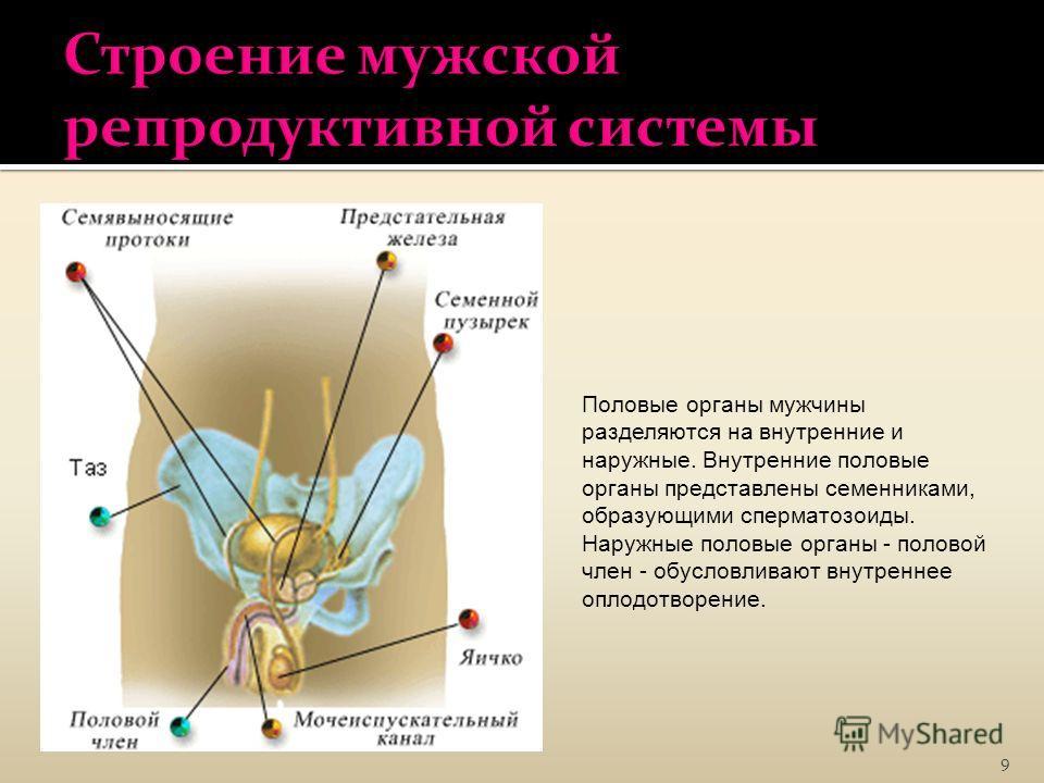 9 Половые органы мужчины разделяются на внутренние и наружные. Внутренние половые органы представлены семенниками, образующими сперматозоиды. Наружные половые органы - половой член - обусловливают внутреннее оплодотворение.