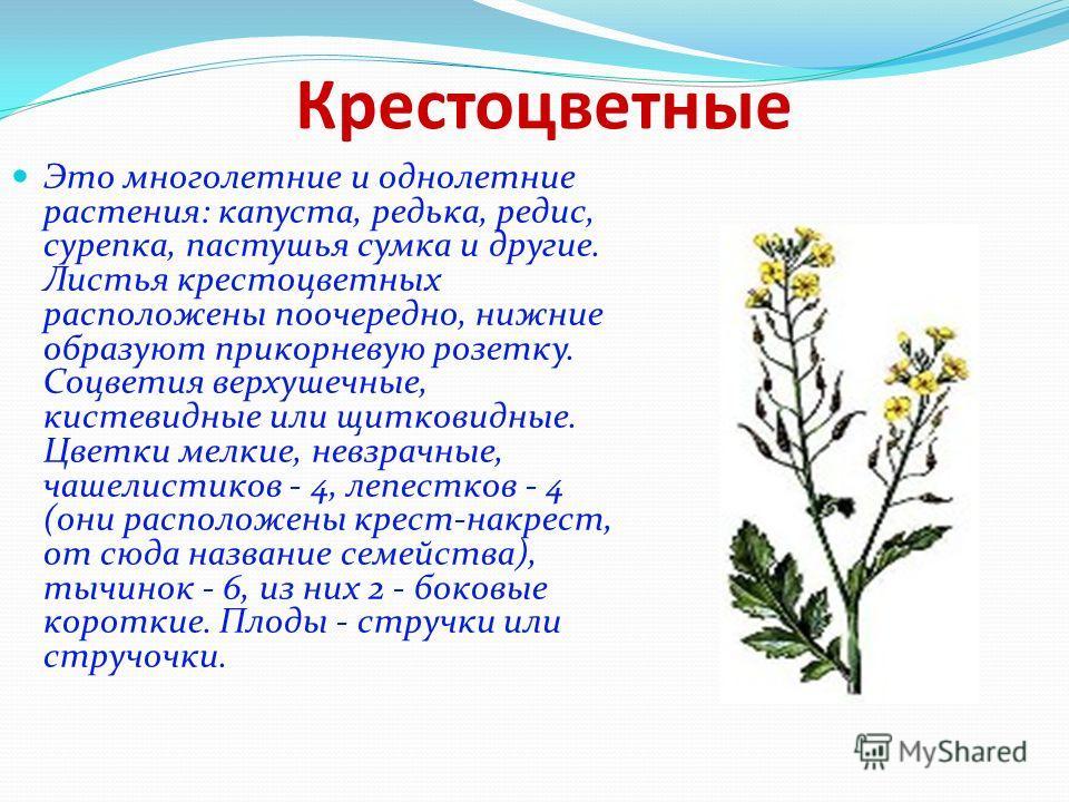 Крестоцветные Это многолетние и однолетние растения: капуста, редька, редис, сурепка, пастушья сумка и другие. Листья крестоцветных расположены поочередно, нижние образуют прикорневую розетку. Соцветия верхушечные, кистевидные или щитковидные. Цветки