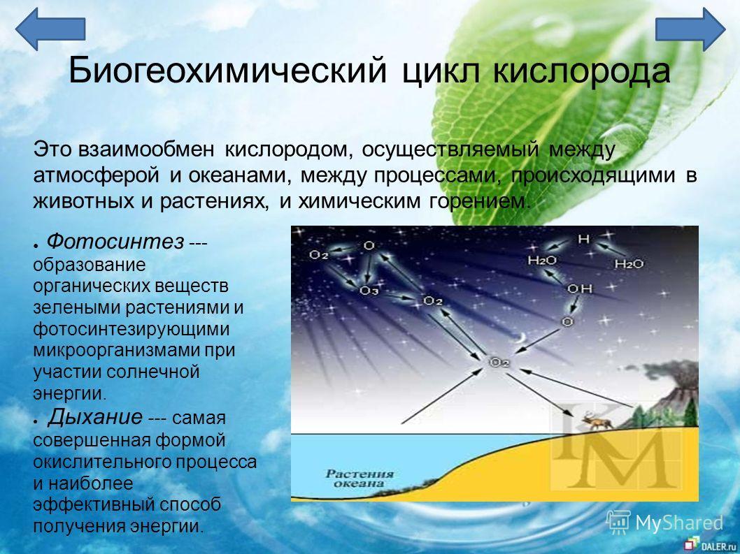Биогеохимический цикл кислорода Это взаимообмен кислородом, осуществляемый между атмосферой и океанами, между процессами, происходящими в животных и растениях, и химическим горением. Фотосинтез --- образование органических веществ зелеными растениями