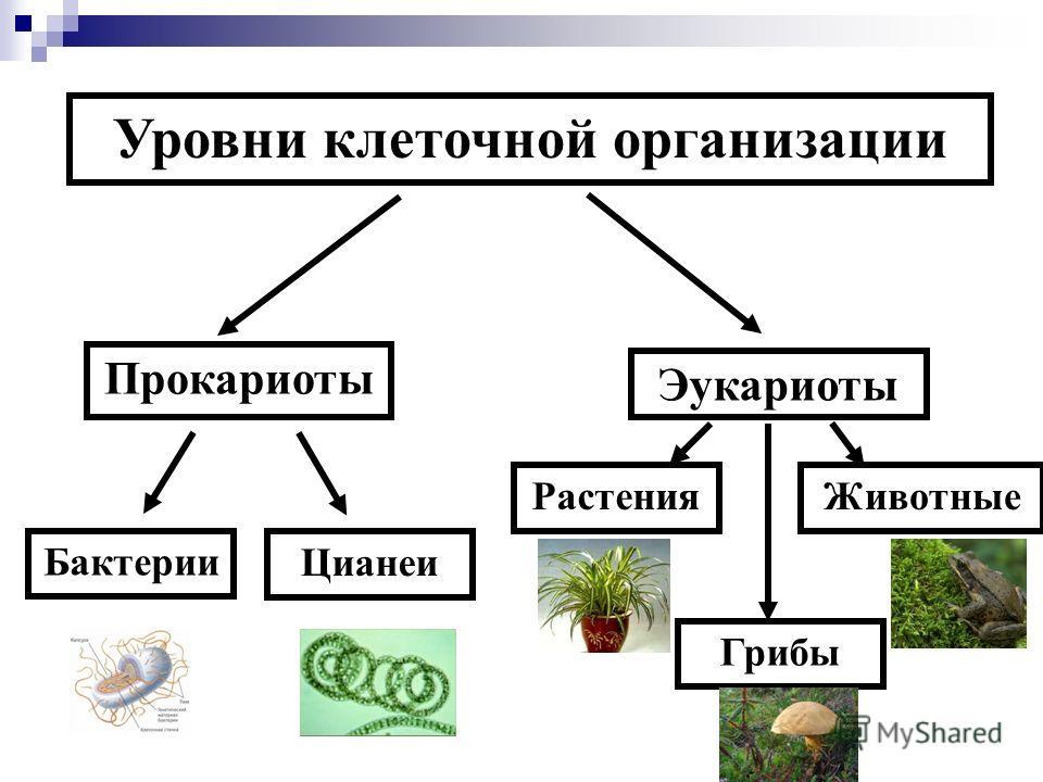 Уровни клеточной организации Прокариоты Эукариоты Бактерии Цианеи Растения Грибы Животные