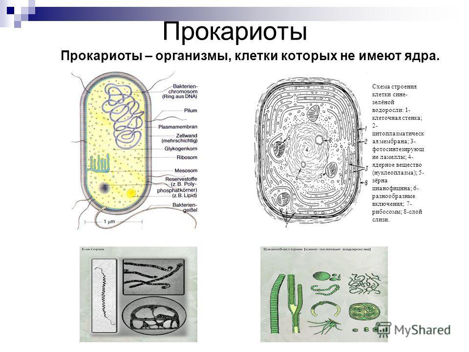 Прокариоты Прокариоты – организмы, клетки которых не имеют ядра. Схема строения клетки сине- зелёной водоросли: 1- клеточная стенка; 2- цитоплазматическ ая мембрана; 3- фотосинтезирующ ие ламеллы; 4- ядерное вещество (нуклеоплазма); 5- зёрна цианофиц