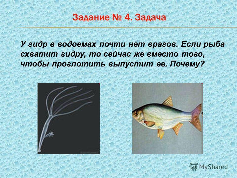 Задание 4. Задача У гидр в водоемах почти нет врагов. Если рыба схватит гидру, то сейчас же вместо того, чтобы проглотить выпустит ее. Почему?