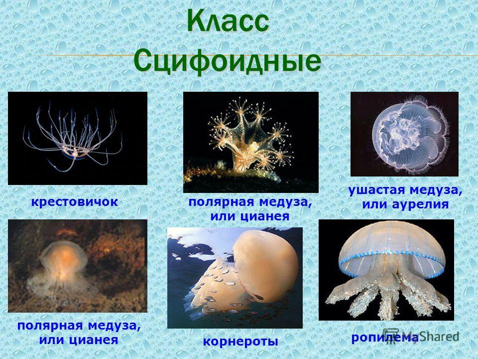 Класс Сцифоидные ушастая медуза, или аурелия корнероты полярная медуза, или цианея ропилема крестовичокполярная медуза, или цианея