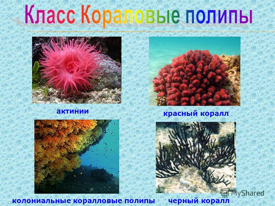 актинии красный коралл черный кораллколониальные коралловые полипы