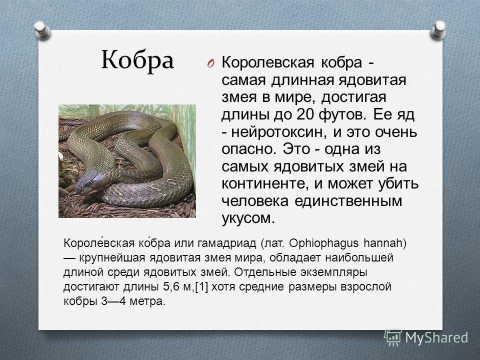 Кобра O Королевская кобра - самая длинная ядовитая змея в мире, достигая длины до 20 футов. Ее яд - нейротоксин, и это очень опасно. Это - одна из самых ядовитых змей на континенте, и может убить человека единственным укусом. Короле́вская ко́бра или
